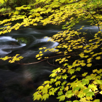 The McKenzie River flows past a maple tree above Sahalie Falls in the Oregon Cascades.