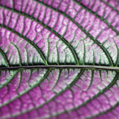 A Persian shield at the Hawaii Tropical Botanical Garden on the Big Island of Hawaii.