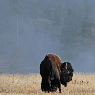 A bison takes a long behind him in Yellowstone National Park in Wyoming.
