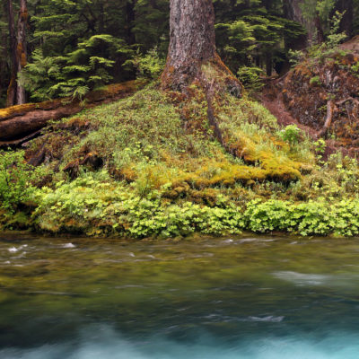 Huge trees grow on the banks of the McKenzie River.